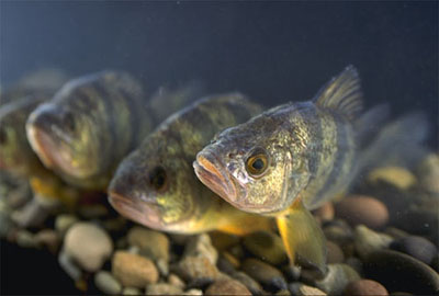 Yellow perch is a known predator of juvenile largemouth bass. Courtesy U.S. Department of Agriculture