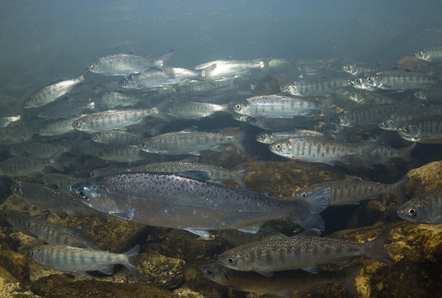 Of Interest: Healthy juvenile coho dine on relatives' remains