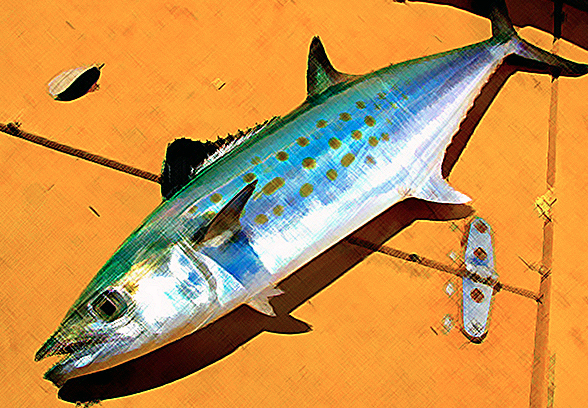 Wednesday Fish Facts: Part II, Spanish macks on a fly