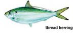 Thread herring, a meal on wheels for Spanish macks.