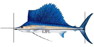 Sailfish catch size limit in federal waters is a lower jaw fork length (LJFL) of 63 inches (160 cm). Photo courtesy NOAA.