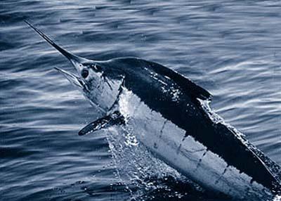 Blue marlin often feed on blackfin tuna. Photo courtesy NOAA.