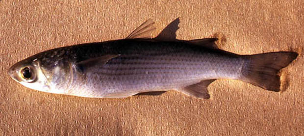 Mullet is among the numerous prey items of the spotted seatrout. © George Burgess