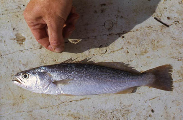 Spotted seatrout can be distinguished from the weakfish by its distinctive pattern of black spots scattered along the upper body. © George Burgess weakfish (regalis).