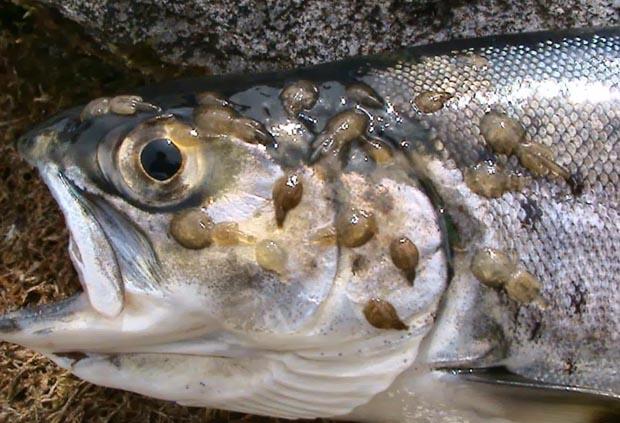 http://flylifemagazine.com/wp-content/uploads/2014/07/sea_lice_trout2013.jpg
