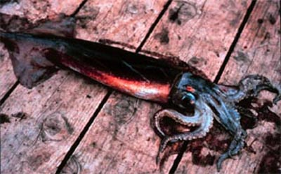 Squid - prey item of the cero mackerel courtesy NOAA.