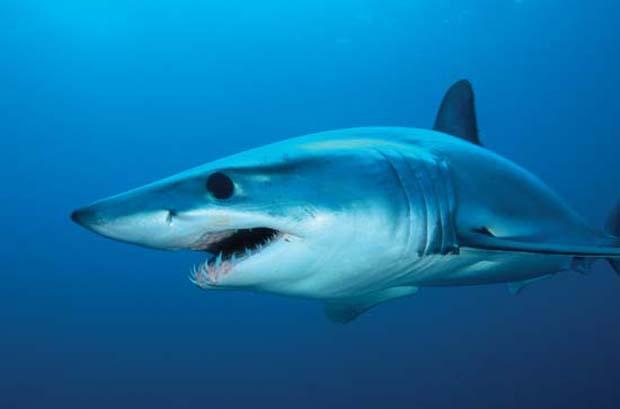 Short fin mako shark is among the many predators of skipjack tuna.