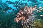 """News: New """"free"""" app helps keep lionfish in check"""