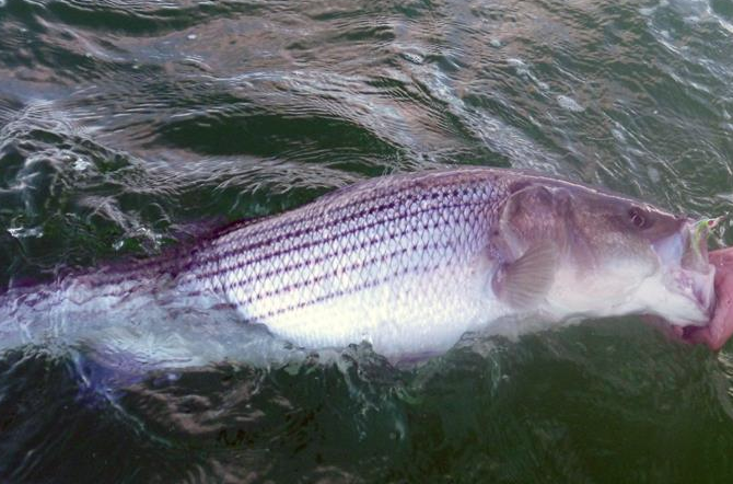 News striped bass regulation changes announced fly life for Ct saltwater fishing regulations