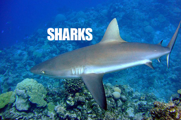 Gray reef sharks appear grayish-brown with white undersides and a black margin on their tail fin. They have a broadly-rounded snout and very large eyes. Gray reef sharks school during the day, but are more active nocturnally. Credit: Pacific Islands Fisheries Science Center.
