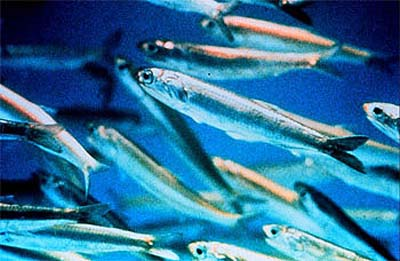 Skipjack tuna feed on small schooling fishes including anchovies as pictured above. courtesy NOAA.