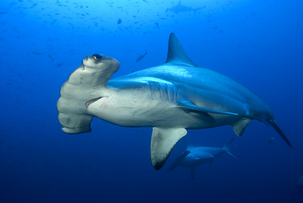 "The great hammerhead (Sphyrna mokarran) is the largest species of hammerhead shark with a maximum length of 20-feet. The great hammerhead can be distinguished from other hammerheads by the shape of its ""hammer"" (called the ""cephalofoil""), which is wide with an almost straight front margin, and by its tall, sickle-shaped first dorsal fin. IGFA ALL Tackle record is 1280-pounds."