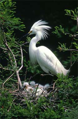 Snowy egrets feed on the Mayan cichlid  - courtesy U.S. Fish and Wildlife Service.
