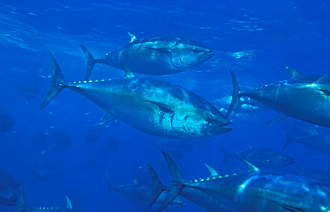 Take Action: Support the recovery of Pacific bluefin tuna