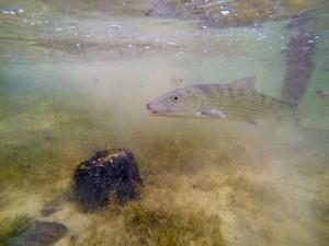 Released Florida Keys bonefish (BTT).