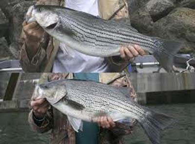 There are several breeding possibilities with hybrid stripers. Almost every state in the lower 48 has a hybrid striper program.
