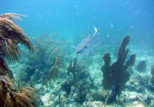 Geat barracuda. NOAA image.
