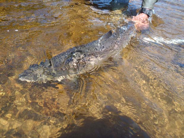 Release of large Atlantic salmon on Godbout River, Quebec. Photo credir ASF.