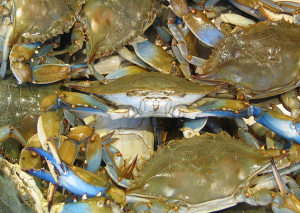 Commission President Ron Fithian suggested that an abundance of the stripers might be partly responsible for recent downturns in the crab population.