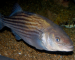 Feature Stories: New striped bass regulations offer much food for thought