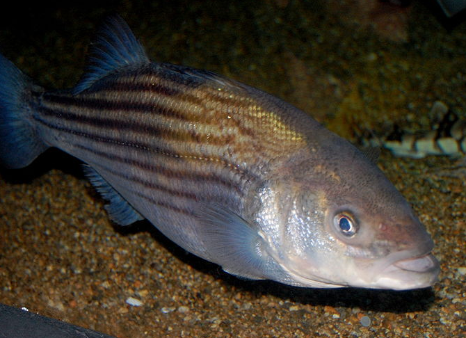 News: Maryland Commissioners ask state to roll back rockfish limit