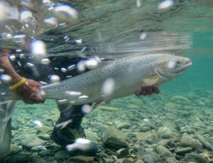 Atlantic salmon. Photo Kelsey Taylor / Atlantic Salmon Federation.