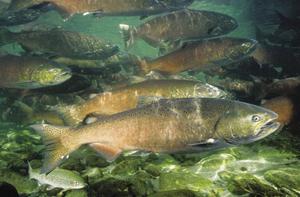 Chinook salmon. Credit: NOAA.