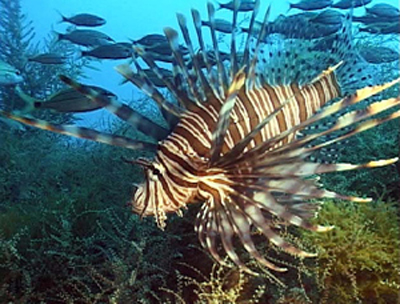 Lionfish are found in nearly all marine habitats in the Atlantic along the Southeast United States and in the Gulf of Mexico and Caribbean waters. Densities of lionfish have surpassed some native reef fish in many locations. Photo courtesy of NOAA.