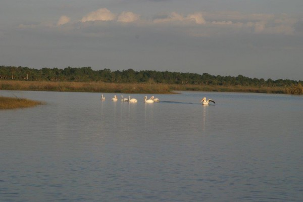 White pelicans gather on backwater sloughs. Photo by Steve Kantner.