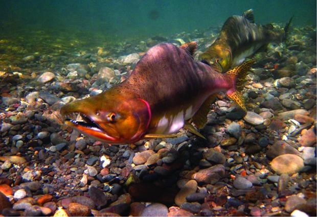 Pink salmon on the make in Washinton waters. Image credit NOAA.