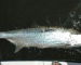News: Fly Shop of Miami to host Belize tarpon tagging discussion