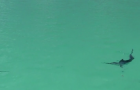 Video: Fraser Island inshore marlin on the fly
