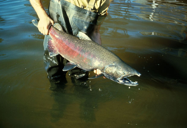 A good size chinook makes it to Idaho last year. U.S. Fish and Wildlife Services photo.