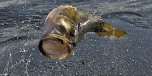 Feature Story: It's on! …when the largemouth bass spawn