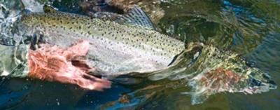 Lehmi River, ID healthy chinook salmon are back. TRCP photo.