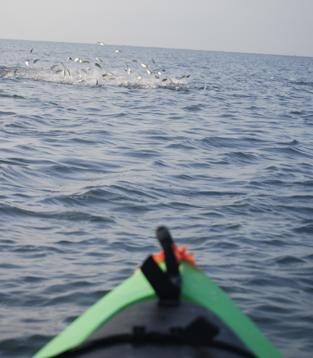 Baitfish migrations allow anglers access to incredible fishing along Florida's beaches, even from vessels as simple as a kayak. Photo by Martin.