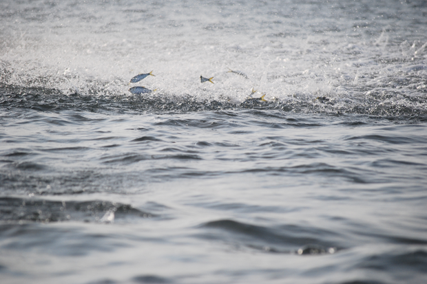 Menhaden are terrorized by predator fish off a Northeast Florida beach. Photo by Martin.