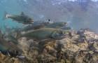 Of Interest: Feast & famine on Alaskan Salmon Rivers