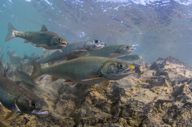 Large Dolly Varden char survive in streams that have very little food — until the salmon return. Photo: © Jason Ching