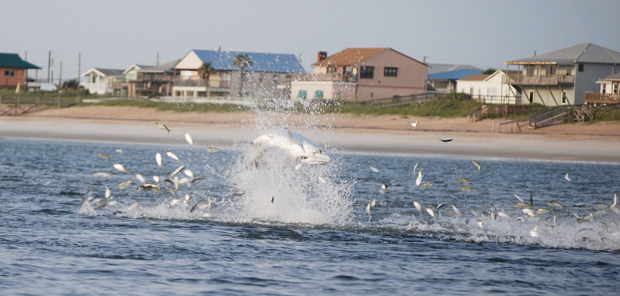 A tarpon vaults through a school of menhaden off a northeast Florida beach. Photo by Martin.