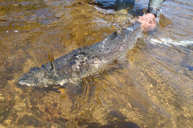 Release of large Atlantic salmon on Godbout River, Quebec in 2012. ASF image.