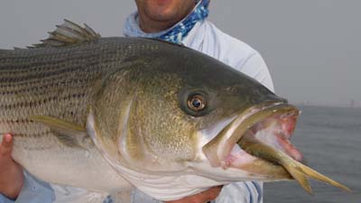 Bass has last meal of a menhaden. Image credit Pew.