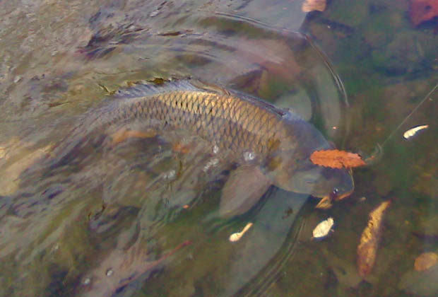 Fly Fishing: Land More Carp on the Mulberry Hatch