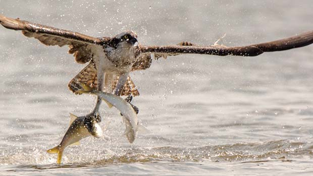 Two for the money. Healthy osprey takes home the 'bacon' . . . oops, menhaden. Photo credit Pew.