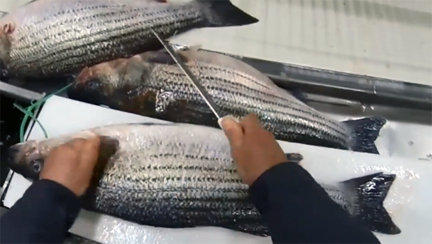 News: New measure to stop 'stockpiling' of striped bass