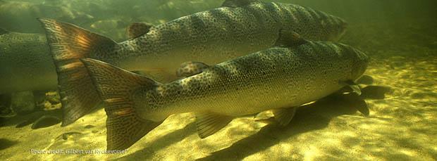 Atlantic salmon. Photo courtesy of Salmon conservation (ca).