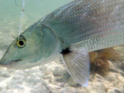 Image Bonefish & Tarpon Trust.