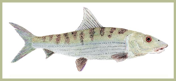 """New: """"Study of a Bonefish."""" Image Size 20-inches x 10-inches,"""