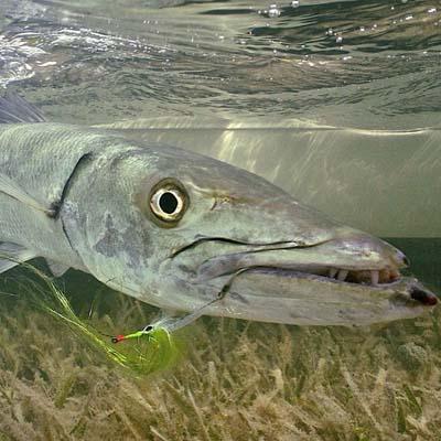 Greater barracuda. BTT image.