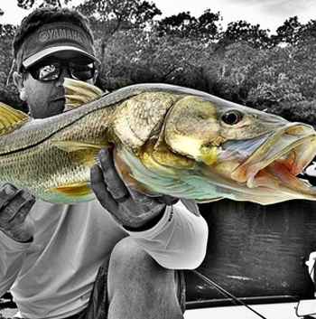 Snook. Wes Bedell photo.